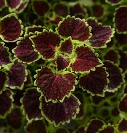 Squak Mtn Coleus 'Wedding Train' 4""