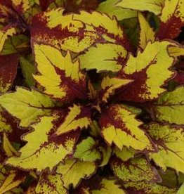 Squak Mtn Coleus 'FlameThrower Spiced Curry' 4""