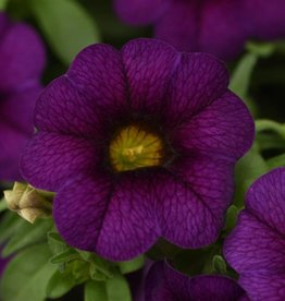 Squak Mtn Calibrachoa MiniFamous Neo 'Dark Blue' 4""