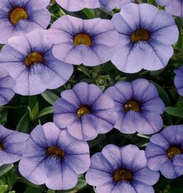 Squak Mtn Calibrachoa MiniFamous Neo 'Light Blue' 4""