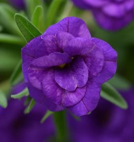 Squak Mtn Calibrachoa MiniFamous Neo 'Double Dark Blue' 4""