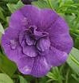 Squak Mtn Calibrachoa MiniFamous Neo 'Double Blue' 4""