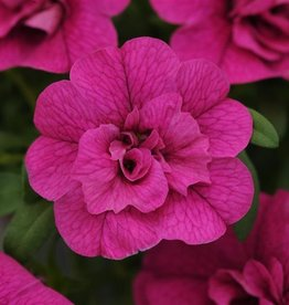 Squak Mtn Calibrachoa MiniFamous Neo 'Double Purple' 4""