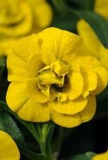 "Squak Mtn Calibrachoa MiniFamous Neo 'Double Deep Yellow' 4"""