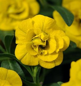Squak Mtn Calibrachoa MiniFamous Neo 'Double Deep Yellow' 4""