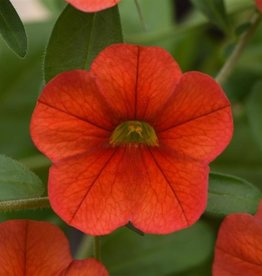 Squak Mtn Calibrachoa MiniFamous Neo 'Deep Orange' 4""
