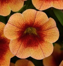 Squak Mtn Calibrachoa MiniFamous Neo 'Orange Red Eye' 4""