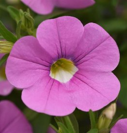 Squak Mtn Calibrachoa MiniFamous Neo 'Light Pink' 4""