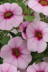 "Squak Mtn Calibrachoa MiniFamous Neo 'Pink Eye' 4"""