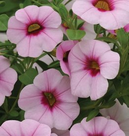 Squak Mtn Calibrachoa MiniFamous Neo 'Pink Eye' 4""