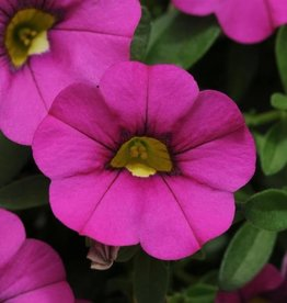 Squak Mtn Calibrachoa MiniFamous Neo 'Purple' 4""