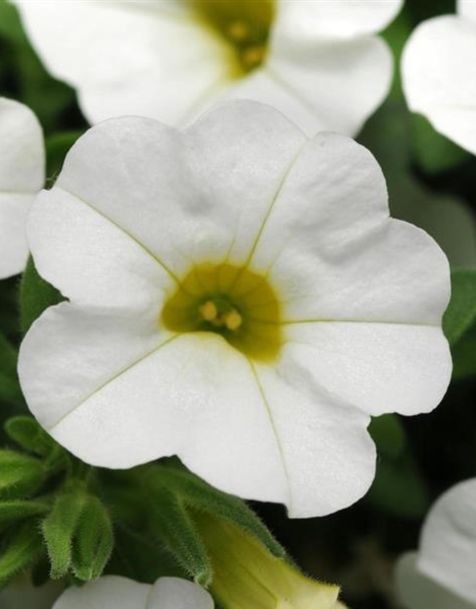 """Squak Mtn Calibrachoa MiniFamous Neo 'White' 4"""""""