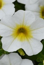 Squak Mtn Calibrachoa MiniFamous Neo 'White Yellow Eye' 4""