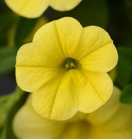 Squak Mtn Calibrachoa MiniFamous Neo 'Deep Yellow' 4""