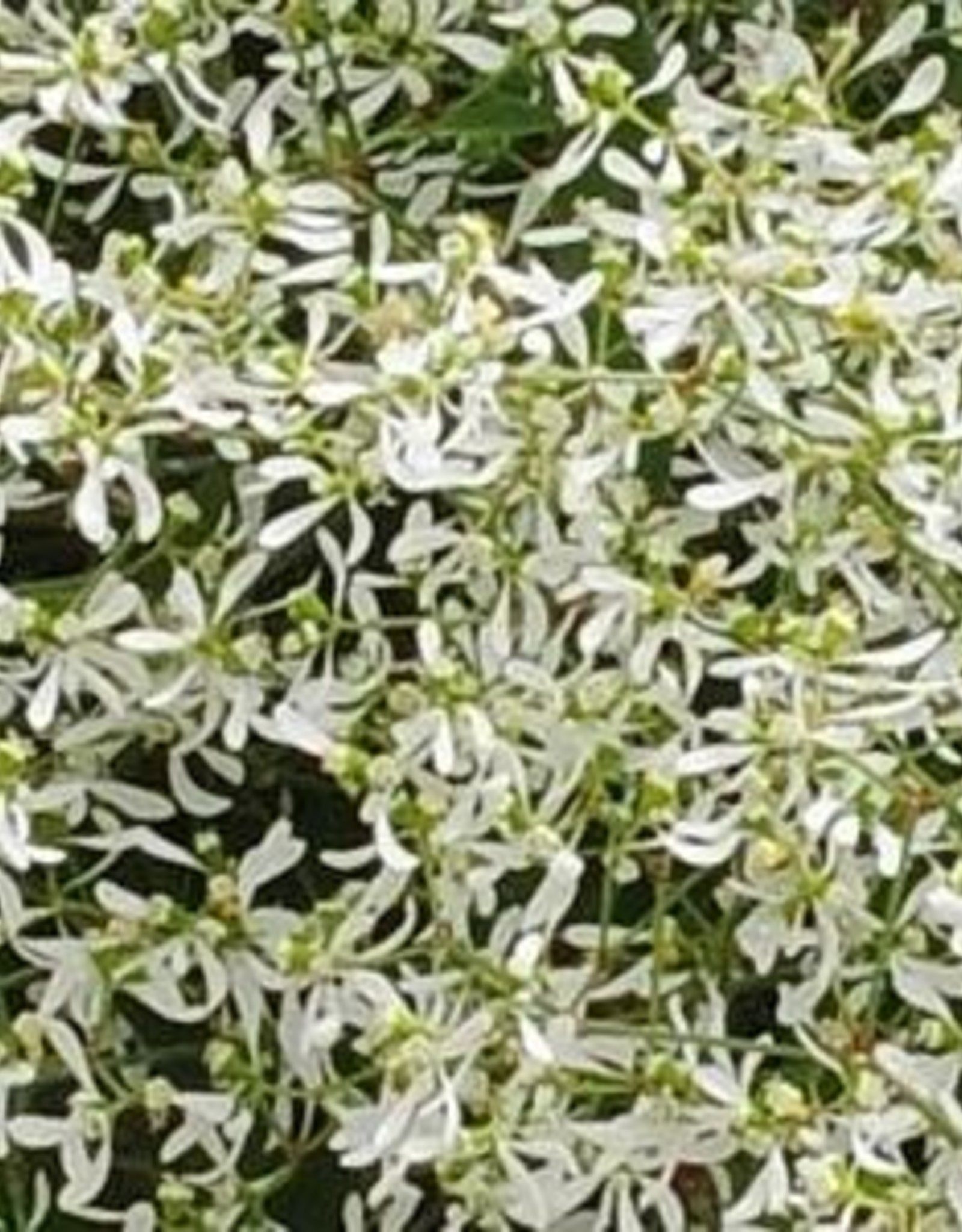 Squak Mtn Euphorbia Breathless 'White' 4""