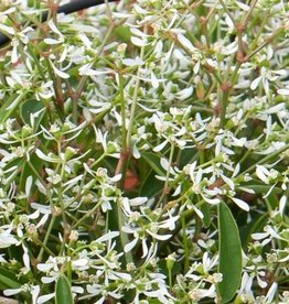 Squak Mtn Euphorbia Loreen 'White' 4""