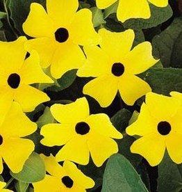 "Squak Mtn Thunbergia Sunny 'Lemon Star' 4"""