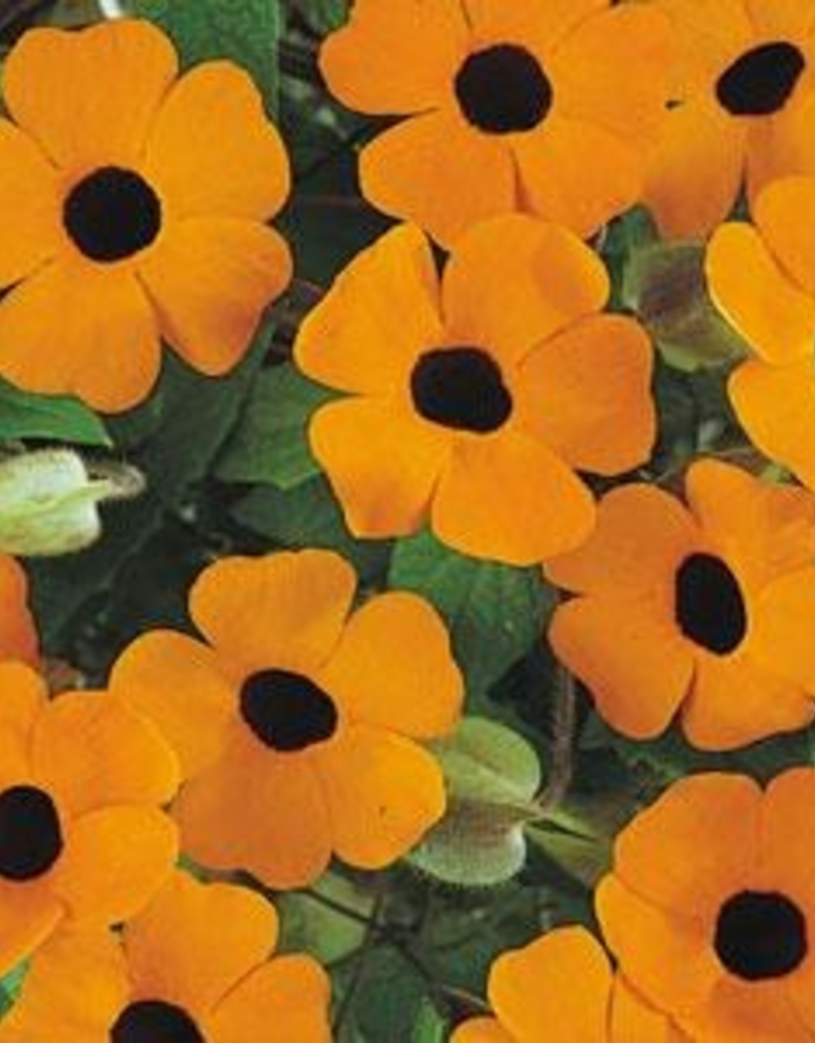 "Squak Mtn Thunbergia Sunny 'Orange Wonder' 4"""