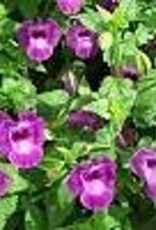 Squak Mtn Torenia Summer Wave 'Amethyst' 4""