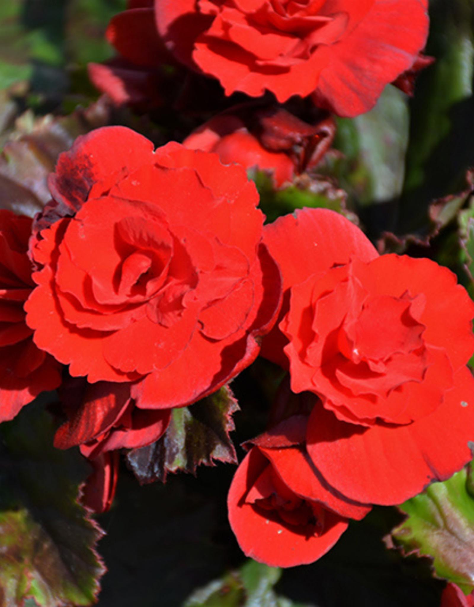 "Squak Mtn Begonia Solenia 'Scarlet' 4"""