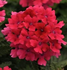 Squak Mtn Verbena EnduraScape 'Hot Pink' 4""