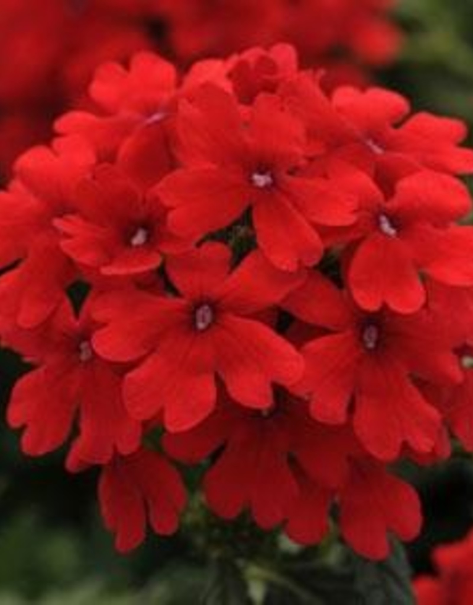 Squak Mtn Verbena EnduraScape 'Red' 4""