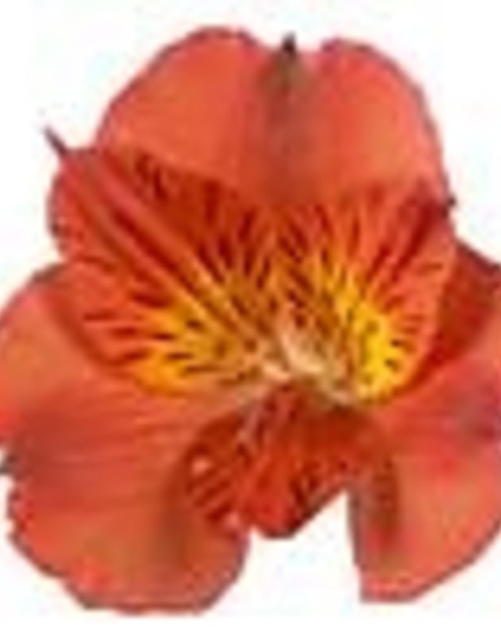 """Squak Mtn Alstroemeria Colorita 'Amina' 8"""""""