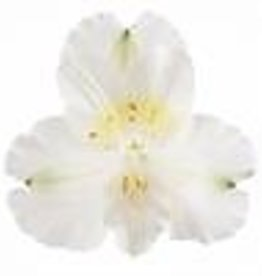 """Squak Mtn Alstroemeria Colorita 'Claire' 8"""""""