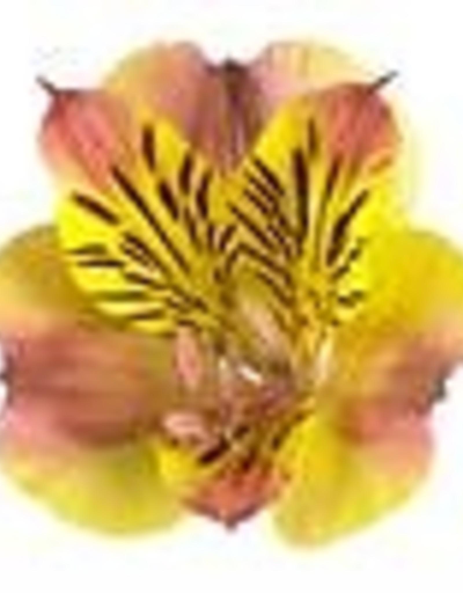 "Squak Mtn Alstroemeria Colorita 'Diana' 8"""