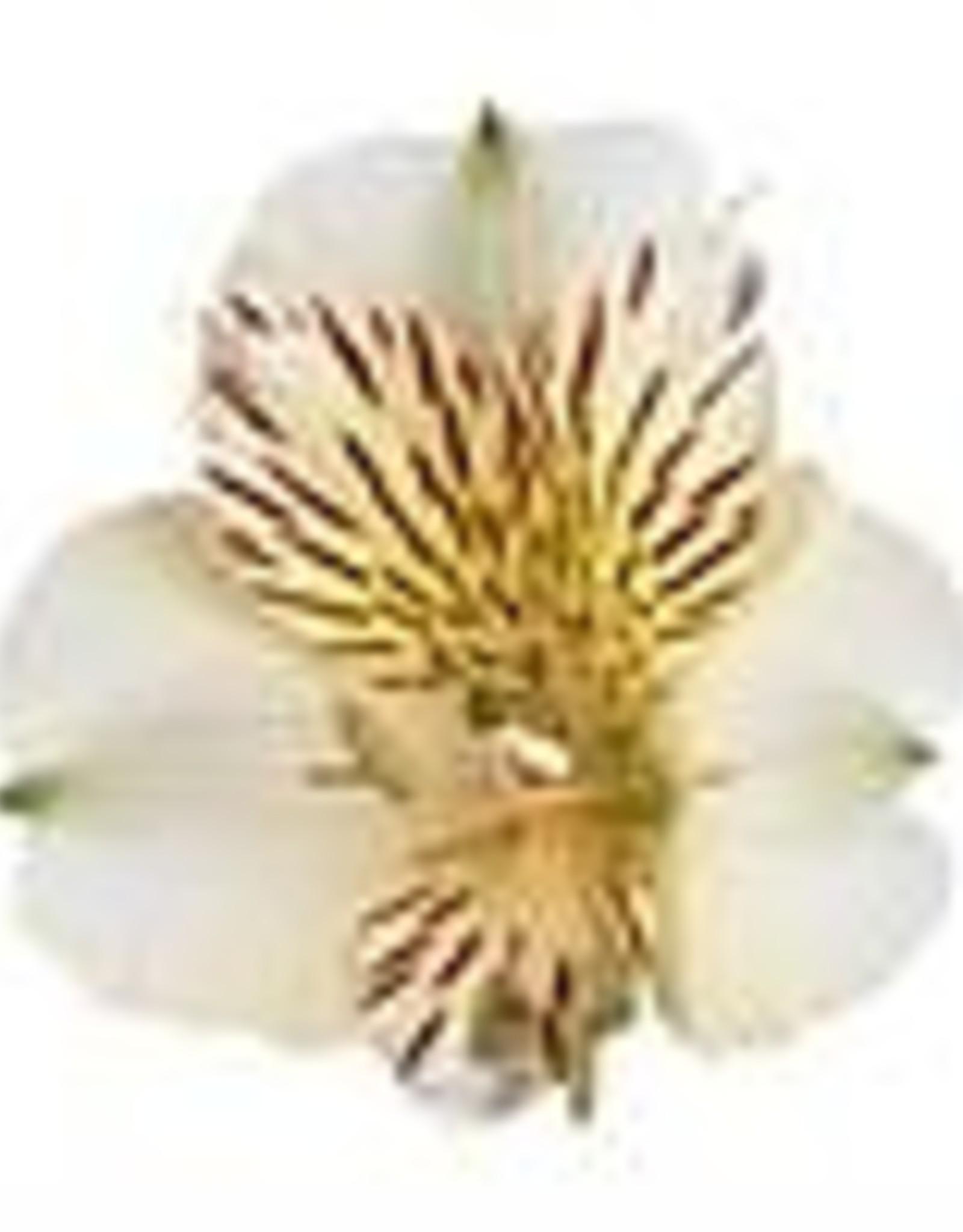 "Squak Mtn Alstroemeria Colorita 'Fabiana' 8"""