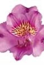 """Squak Mtn Alstroemeria Colorita 'Lilian' 8"""""""