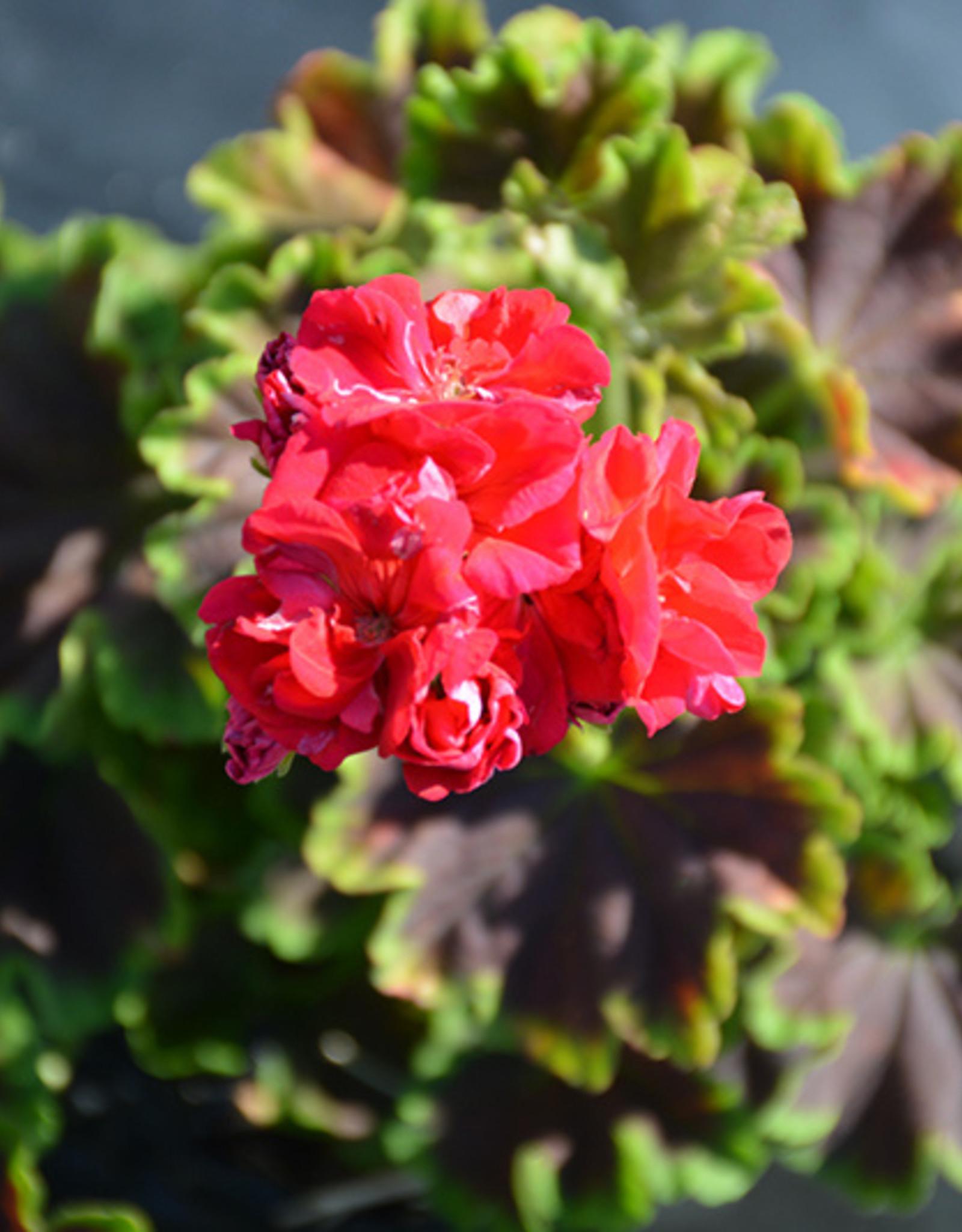 "Squak Mtn Geranium 'Brocade Cherry Night' 4"""