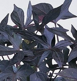 Squak Mtn Ipomoea 'Blackie' 4""