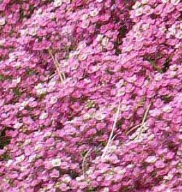 Squak Mtn Alyssum Easter Bonnet 'Pink' Jumbo Pack