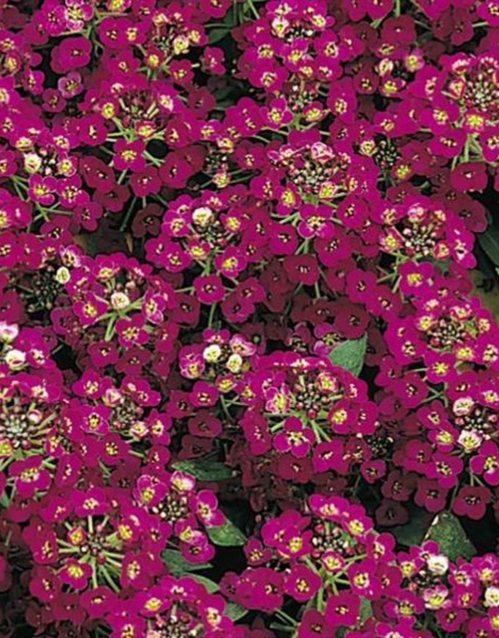 Squak Mtn Alyssum Easter Bonnet 'Violet' Jumbo Pack
