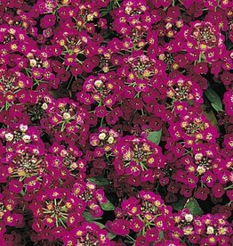 Squak Mtn Alyssum Easter Bonnet 'Violet' Jumbo Pack
