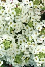 Squak Mtn Alyssum Easter Bonnet 'White' Jumbo Pack