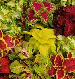 Squak Mtn Coleus 'Wizard Mix' 4""