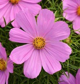 Squak Mtn Cosmos 'Sonata Pink' Jumbo Pack