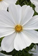 Squak Mtn Cosmos 'Sonata White' Jumbo Pack