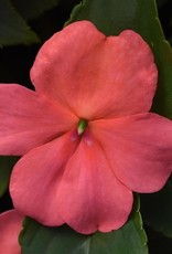 Squak Mtn Impatiens Beacon 'Coral' Jumbo Pack