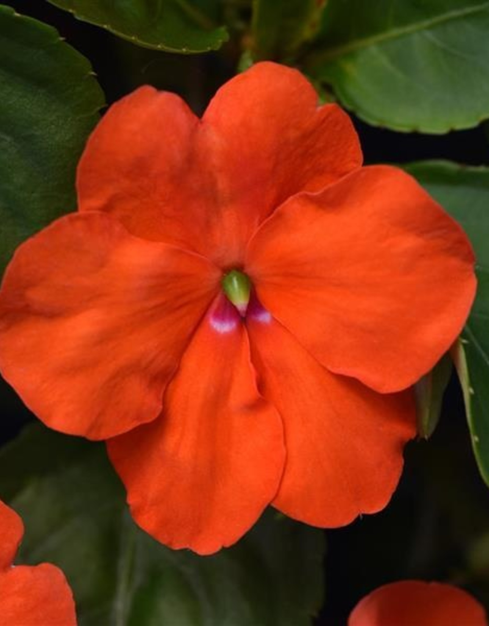 Squak Mtn Impatiens Beacon 'Orange' Jumbo Pack