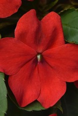 Squak Mtn Impatiens Beacon 'Red' Jumbo Pack