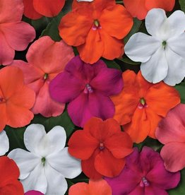 "Squak Mtn Impatiens Beacon 'Mix' 4"" - Grower's choice"