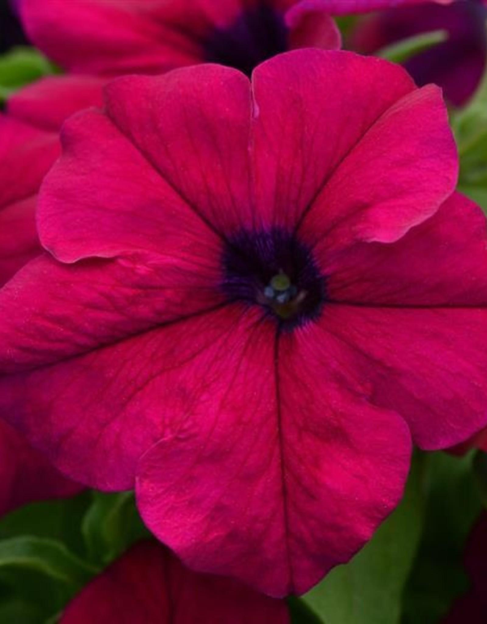 Squak Mtn Petunia 'Burgundy Dreams' Pack