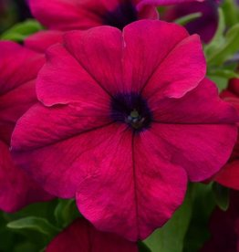 Squak Mtn Petunia 'Burgundy Dreams' Jumbo Pack