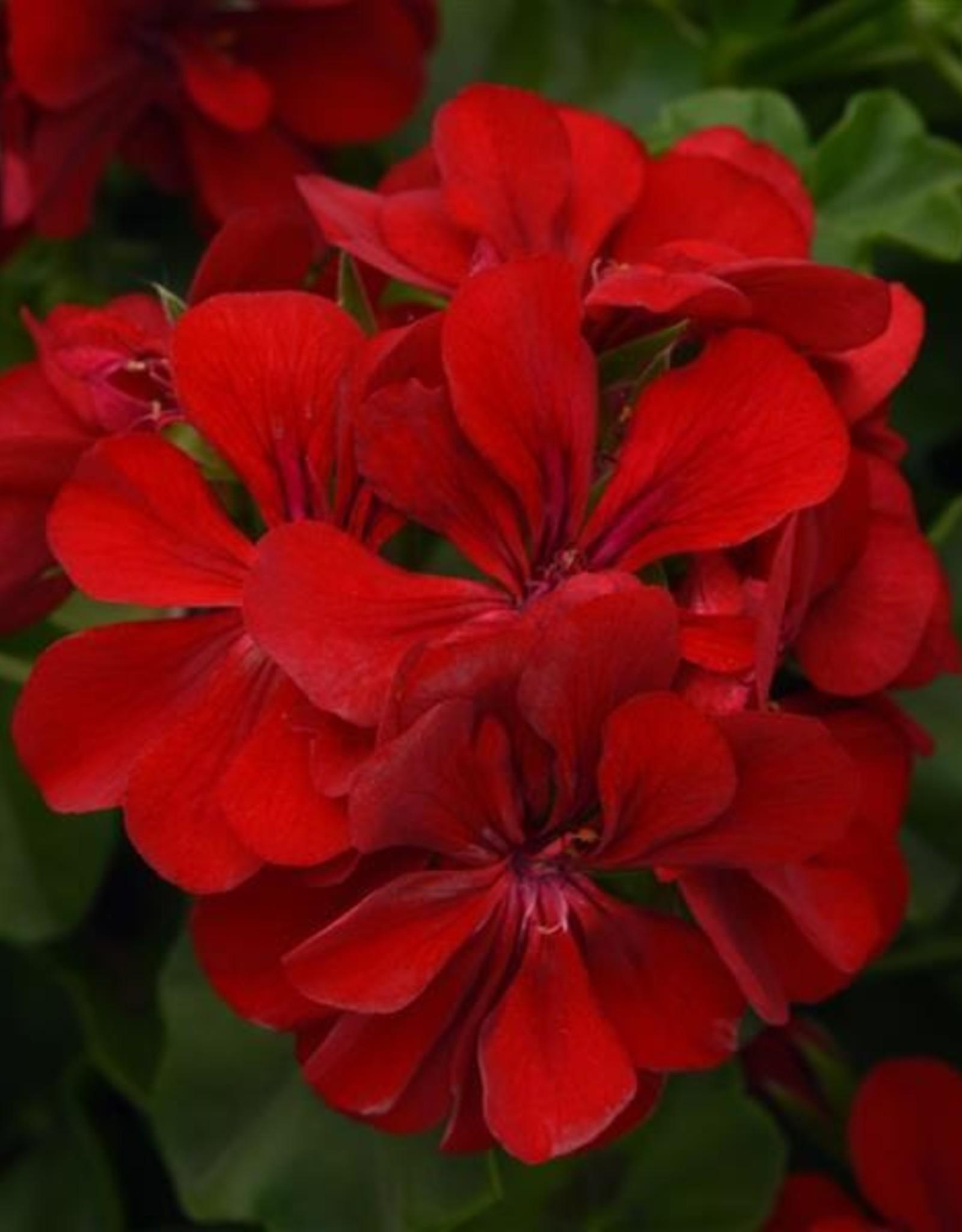 """Squak Mtn Ivy Geranium 'Red' 4"""""""
