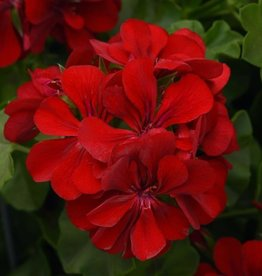 Squak Mtn Ivy Geranium 'Red' 4""