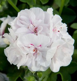 Squak Mtn Ivy Geranium 'White' 4""
