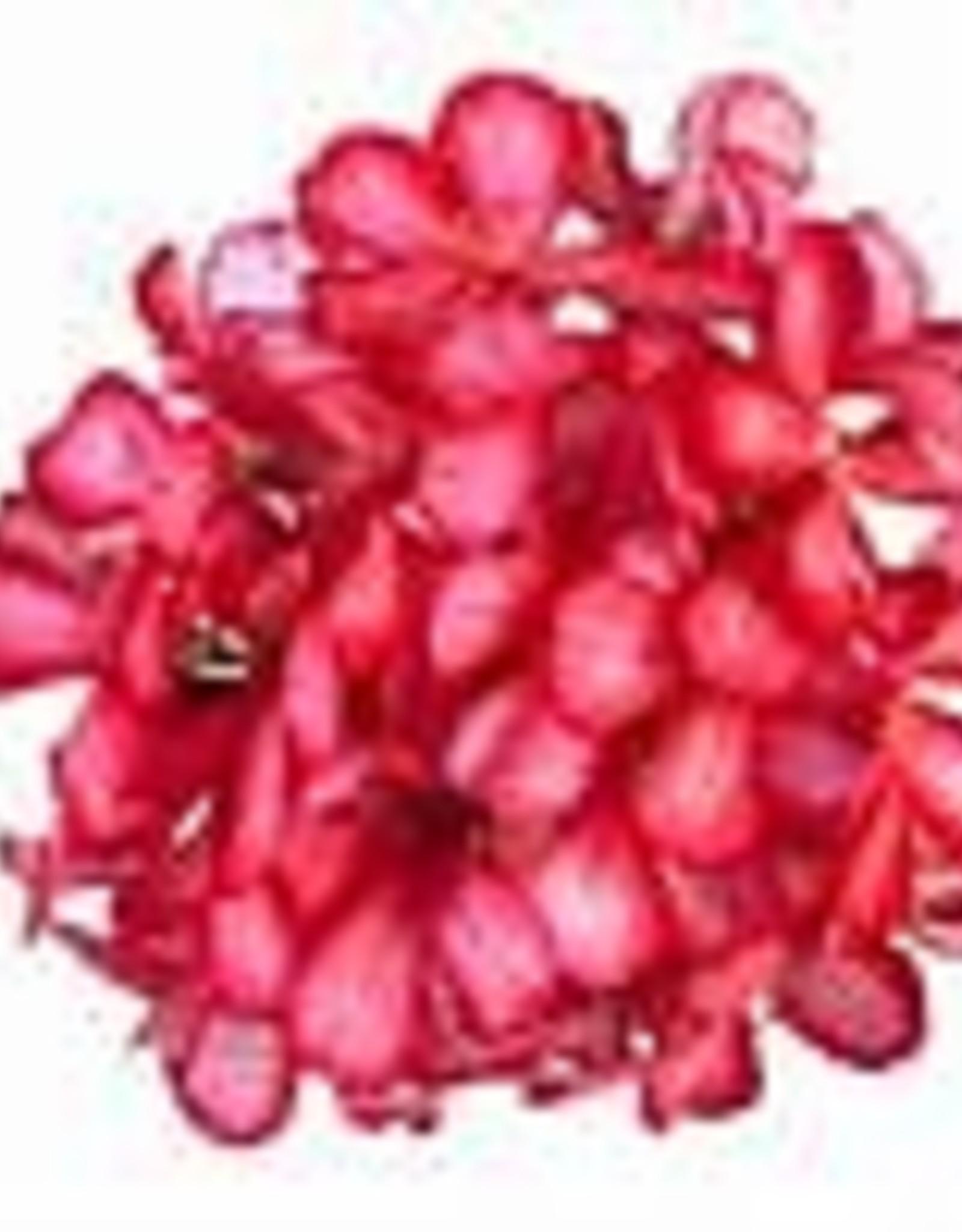 """Squak Mtn Ivy Geranium 'Red/White Bicolor' 4"""""""